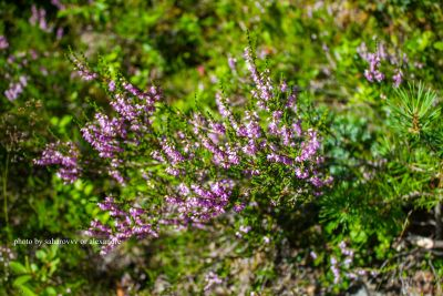 Little purple flowers in a Norwegian forest
