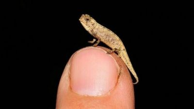 'Smallest reptile on earth' discovered in Madagascar