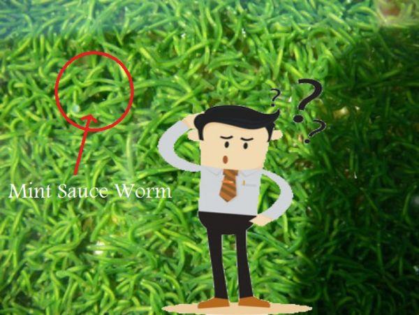 Planta, animal o superorganismo? El curioso gusano de salsa de menta.