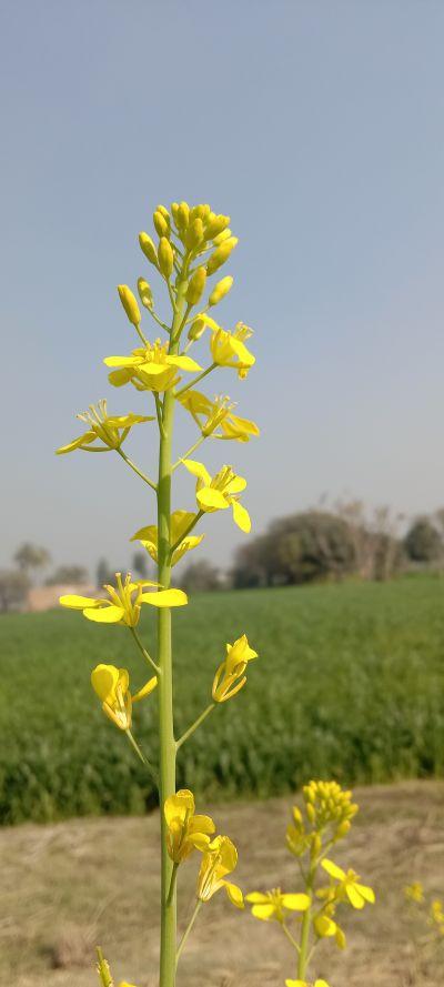 Mustard flower photography