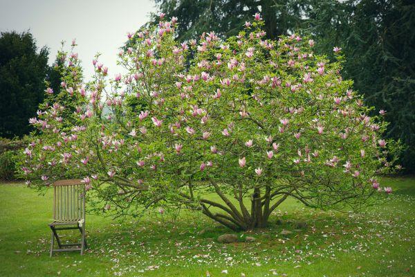 Magnolias en el jardín