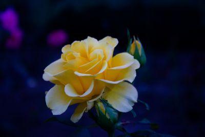 Roses park 1